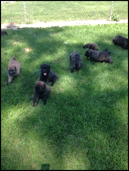 Puppies 6 weeks old