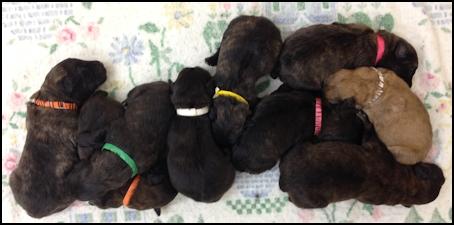 Puppies 4 days old